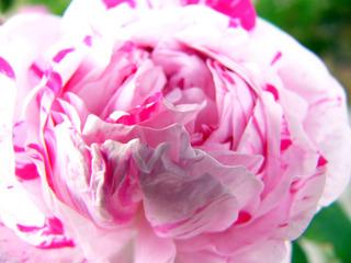 白+ピンクのばら~画面いっぱい